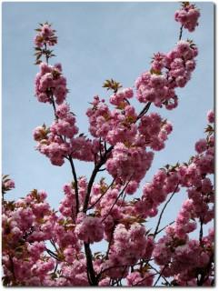Blühende japanische Kirschen