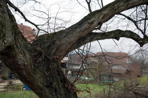 Baum 18 - Hainbuche