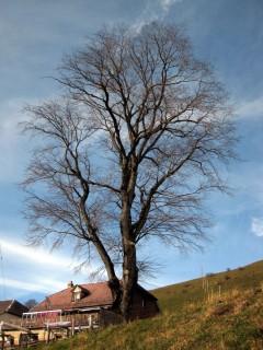 Baum 4 - Bergulme