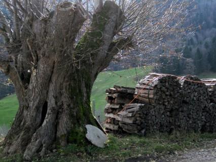 Baum 63 - Linde