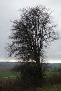 Baum 48 - Weissdorn