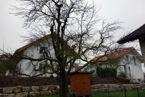 Baum 90 - Zwetschge