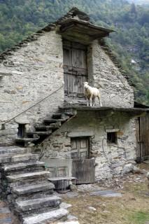 Alnasca - Schafe