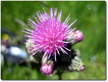Alpenblumen 02