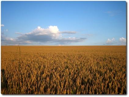 Arbeitsweg - Reifer Weizen