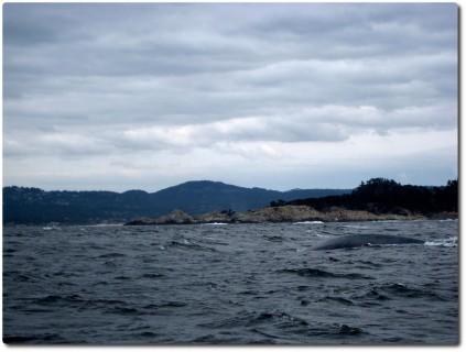Hintere Hälfte des Blauwals