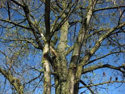 Baum 34 - Schwarzpappel