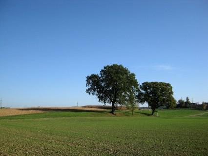 Baum 38 - Stieleichen