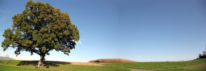 Baum 38 - Stieleiche