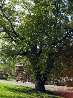 Baum 46 - Walnuss