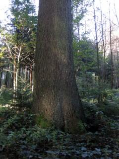 Baum 58 - Fichtenstamm