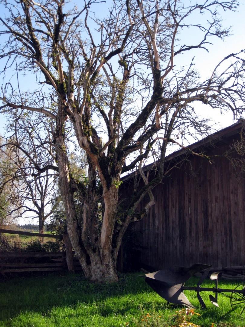 Baum 60 - Schwarzer Holunder