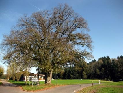 Baum 99 - Linde