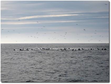 Delfine auf der Fluch vor Killerwalen 01