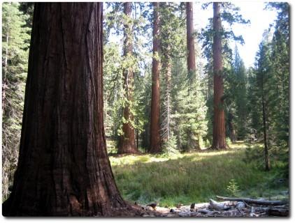 Mariposa Grove - Ein Wald grosser und normaler Bäume
