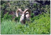 Bighorn Sheep