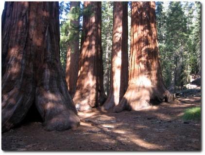Mariposa Grove - Sequoias