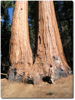 Mariposa Grove - Twin Sequoias