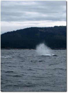 Atemfontäne des Blauwals