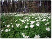 Frühlingsblumenteppich im Wald