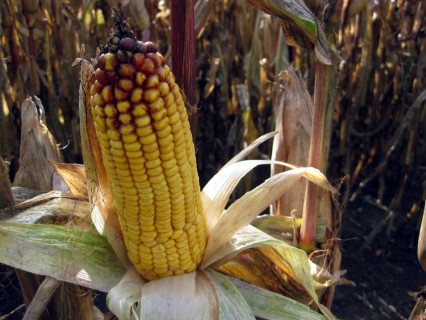 Herbstzeichen - Mais