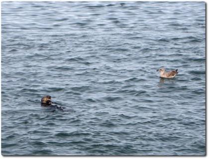 Seeotter beim Speisen unter Bewachung