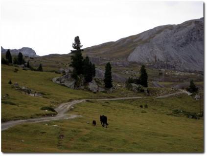 Mutterkuh und Kalb im Aufstieg von Buffalora zum Fuorcla del Gal