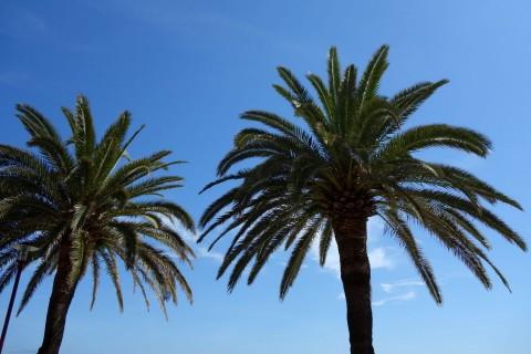 Palmen in Finale Ligure