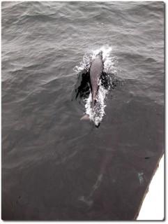 Delfine beim Bug-Surfen