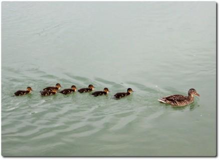 Enten auf der Aare in Einerkolonne