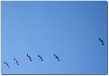 Pelikane im Formationsflug