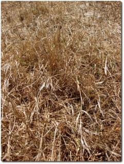Fort Ord - Trockenes Gras