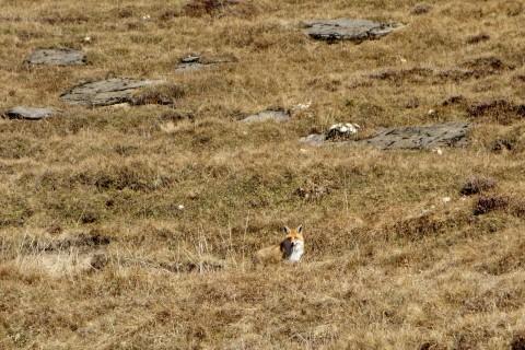 Einsamer Fuchs auf der First