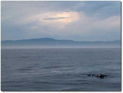 Grauwal - oder mindestens seine Schnauze