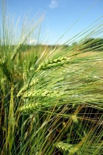Der Weizen spriesst