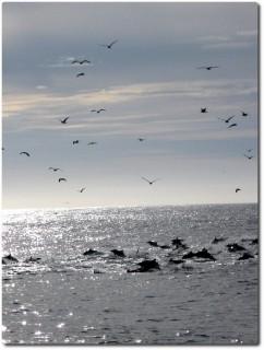 Delfine auf der Fluch vor Killerwalen 02