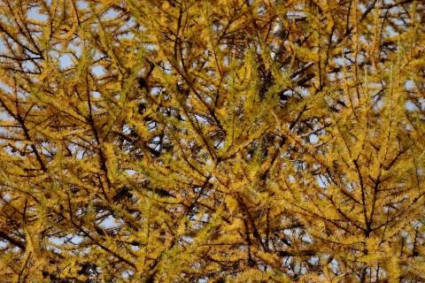Lärchiges Herbstgold