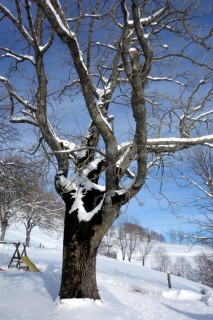 Baum beim Hofbergli