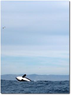 Junger Killerwal beim Wasserspringen 03