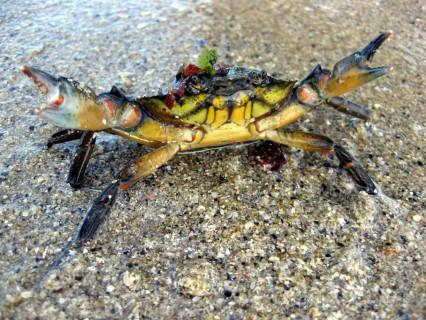 Impressionen Ile Grande - Krabbe