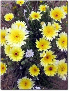 Joshua Tree NP - gelbe Blumen