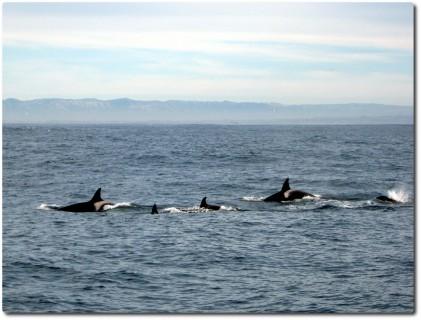 Familiengruppe von Killerwalen auf der Jagd