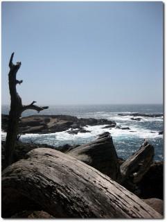 Abgestorbene Bäume - Point Lobos