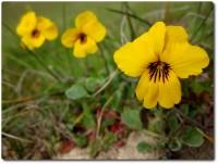 Frühlingsblumen Fort Ord - 01