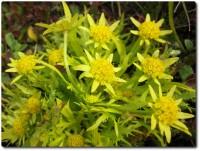 Frühlingsblumen Fort Ord - 02