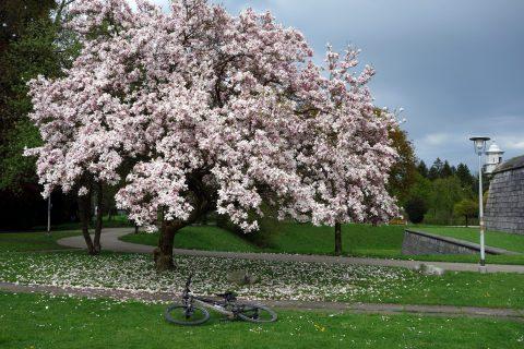 Magnolienbaum Solothurn