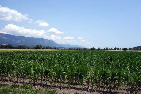 Das Mais wächst beim Zuschauen