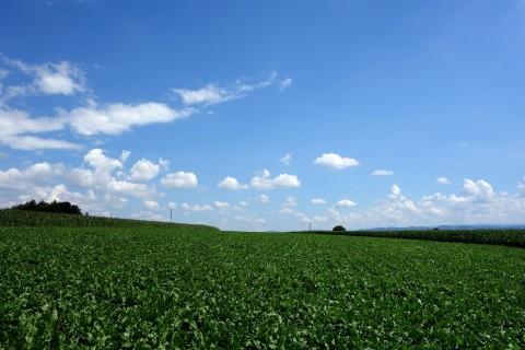 Junge Maisfelder
