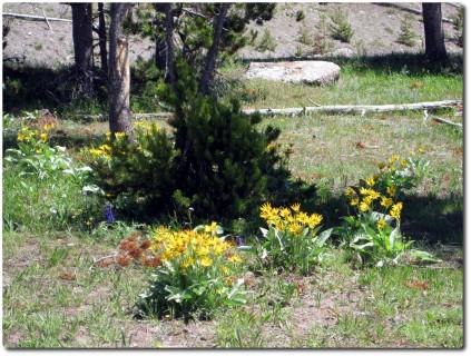 Midway Geysr Basin - Blumen