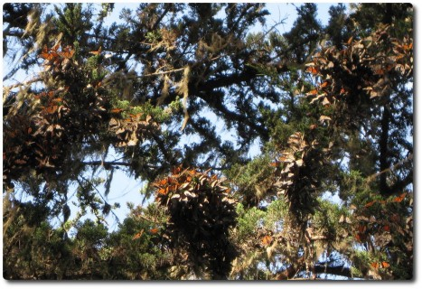 Monarch Schmetterlinge in Trauben am Baum